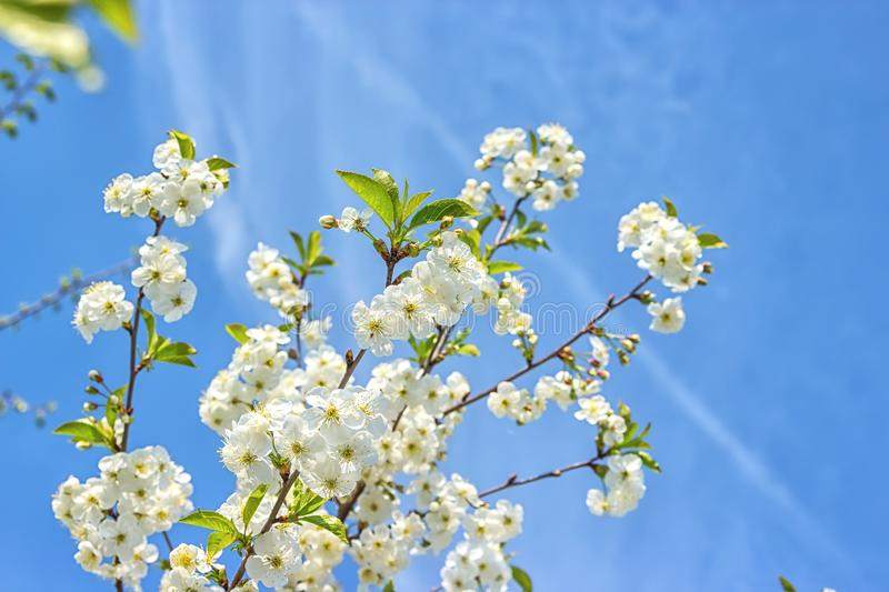 Blossoming of the cherry tree in spring time with white beautiful flowers. Macro image with copy space. Natural seasonal. Background. Selective focus royalty free stock images