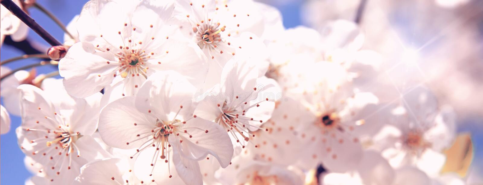 Blossoming of the cherry tree in spring time with white beautiful flowers. Macro image with copy space. Natural seasonal. Background. Selective focus. Banner stock photography