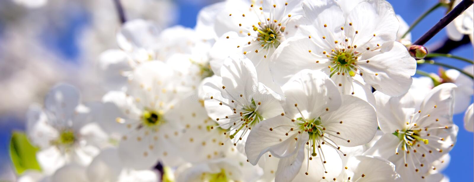 Blossoming of the cherry tree in spring time with white beautiful flowers. Macro image with copy space. Natural seasonal. Background. Selective focus. Banner stock image