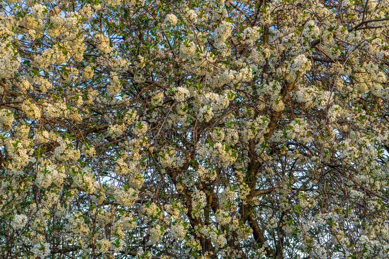 Blossoming cherry tree strewn with flowers against sky. Lush spring blooming of fruit trees in garden. Beautiful natural royalty free stock images