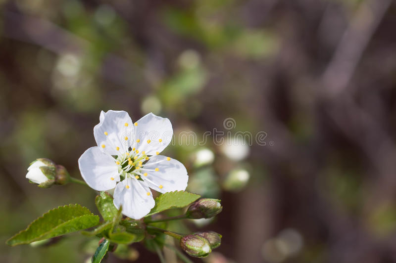 The blossoming cherry tree in sunny day stock image