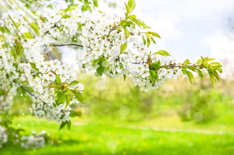 Blossoming of cherry trees. Spring flowers with sun rays. Nature landscape. Selective focus royalty free stock photography