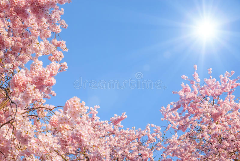 Blossoming cherry trees and the sun stock photography