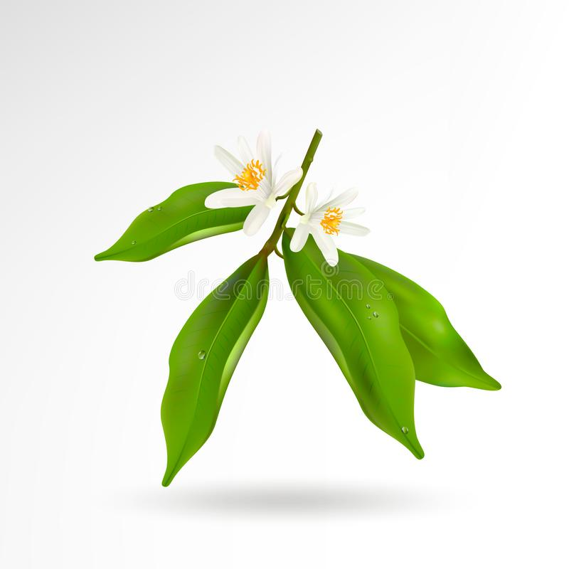 Blossoming citrus plant branch with flowers and green leaves isolated on white background. Realistic Vector Illustration vector illustration