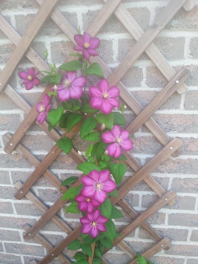 blossoming clematis стоковая фотография