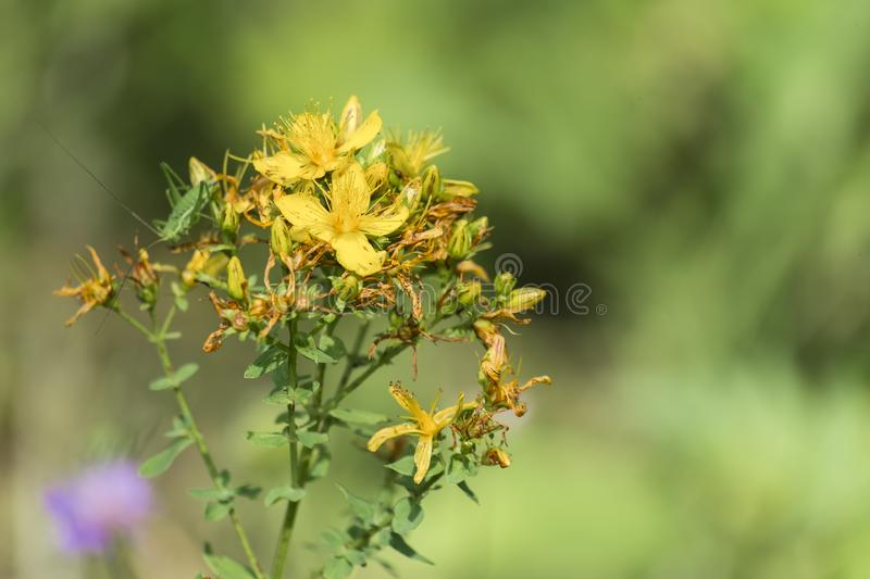Blossoming common Saint John`s wort stock images