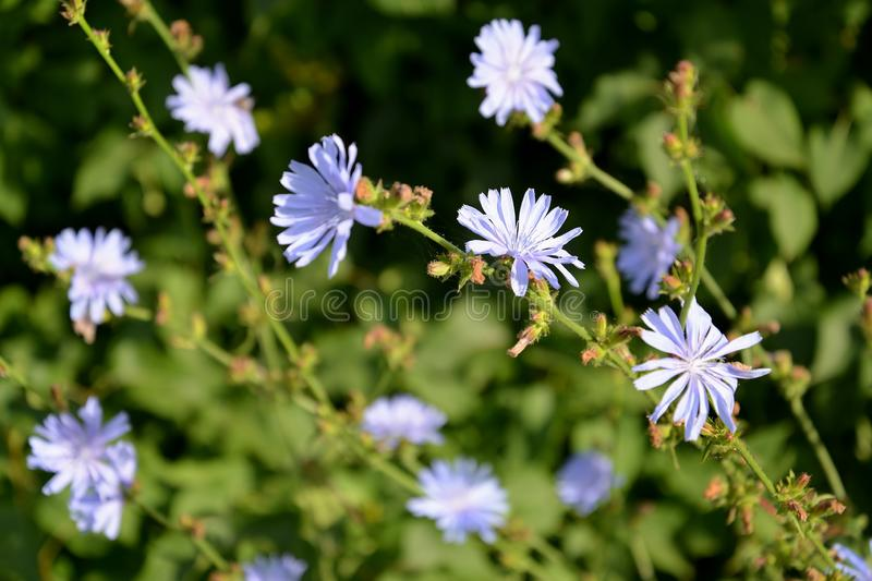Blossoming of common succory Cichorium intybus L stock photos