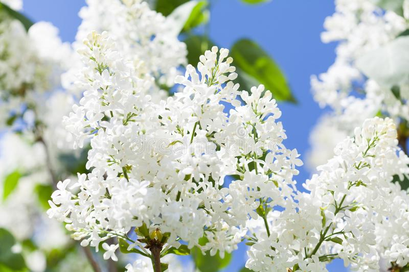 Blossoming common Syringa vulgaris lilacs bush white cultivar. Springtime landscape with bunch of tender flowers. lily. White blooming plants background against stock photo