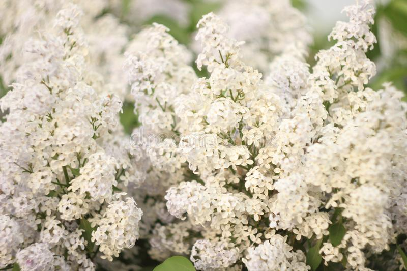Blossoming common Syringa vulgaris lilacs bush white cultivar. Springtime landscape with bunch of tender flowers. lily-white stock photo