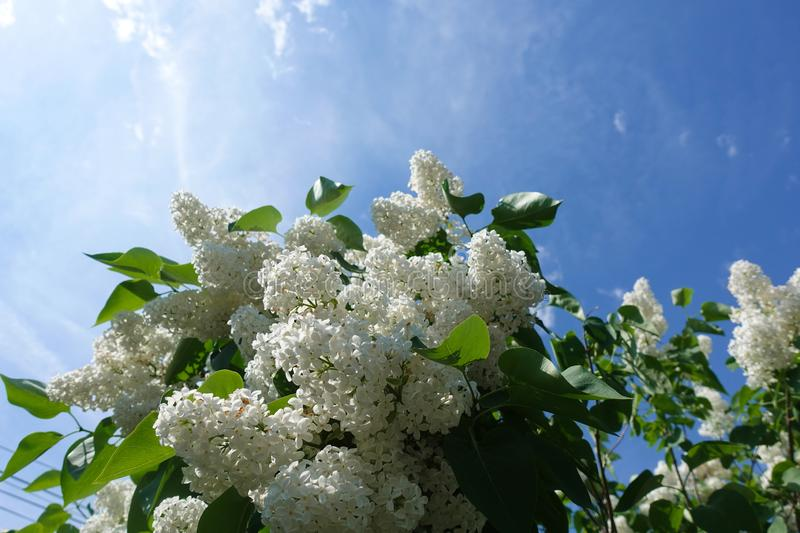 Blossoming common Syringa vulgaris lilacs bush white cultivar. Springtime landscape with bunch of tender flowers. lily-white stock photography