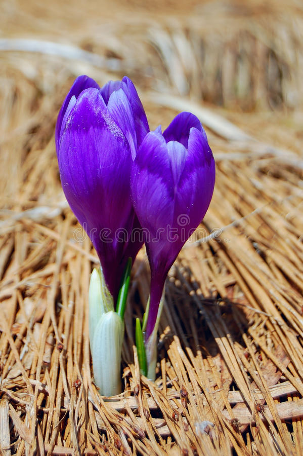 Blossoming crocuses stock photos
