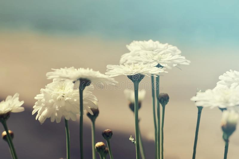 Blossoming daisy flowers. Nature Background with blossoming daisy flowers royalty free stock photography