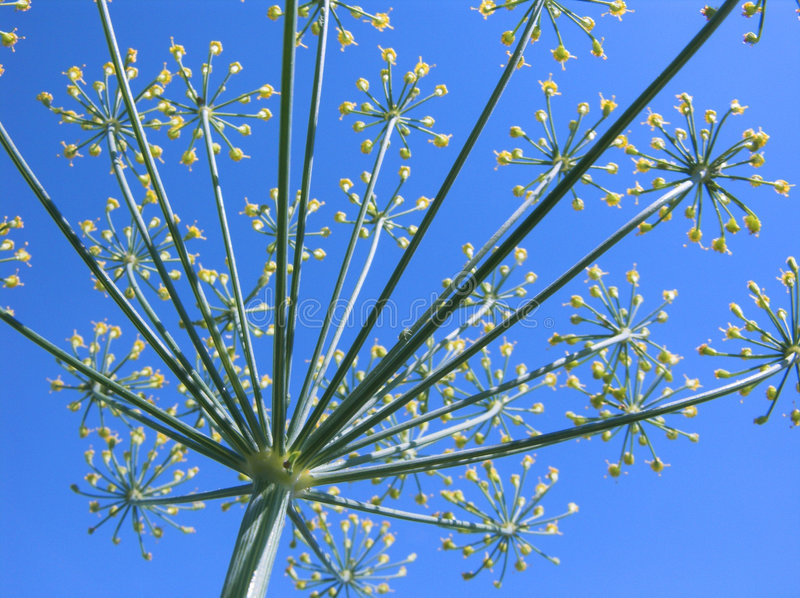 Download Blossoming dill stock photo. Image of close, blooming, meadow - 156586