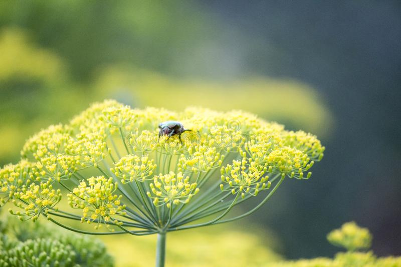 Blossoming dill. Fennel beds royalty free stock photography