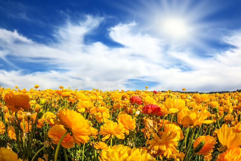 The blossoming fields stock image