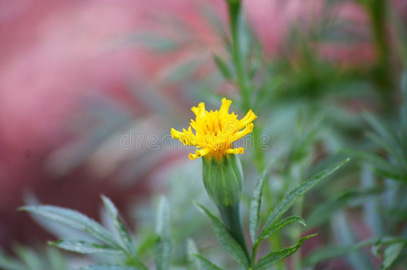 Yellow flower blossoming in the moring royalty free stock photo