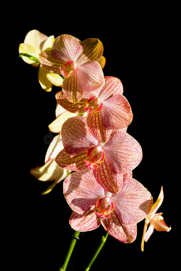 Blossoming flower exotic orchid royalty free stock photography