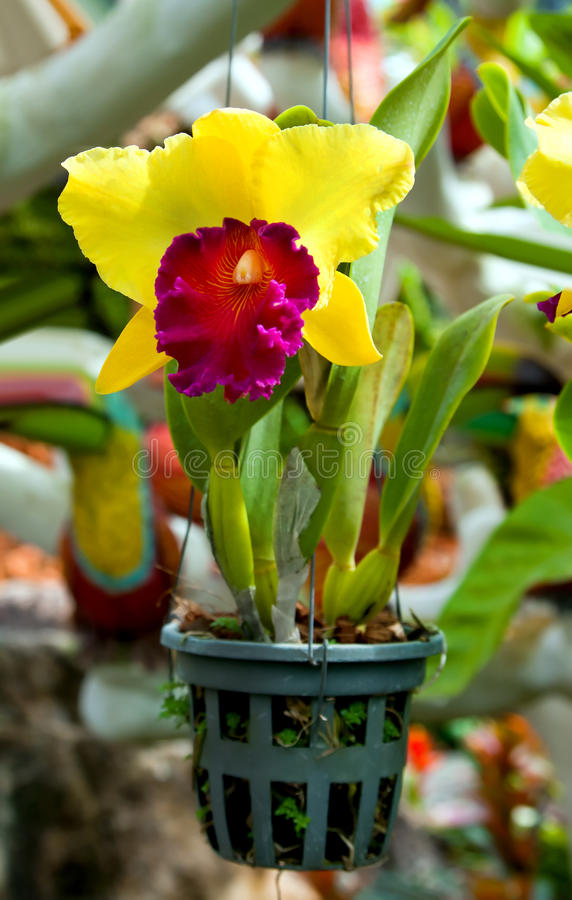 Blossoming flower orchid royalty free stock image