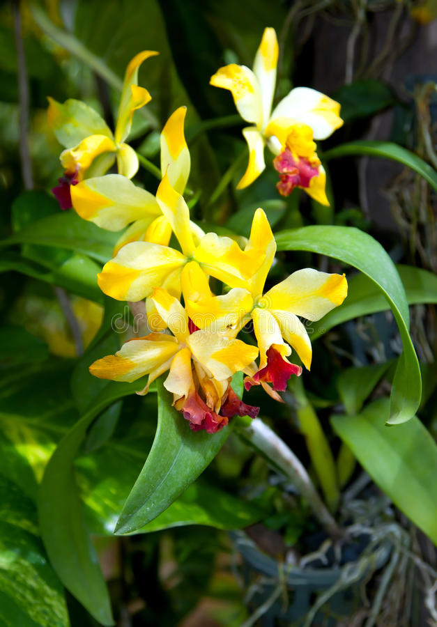 Blossoming flower orchid stock images