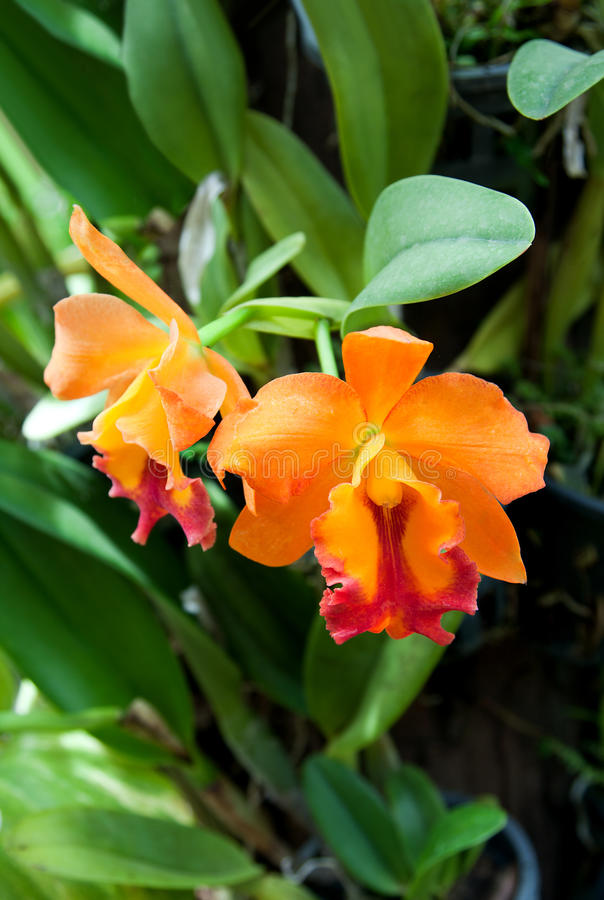 Blossoming flower orchid, Thai garden stock photography