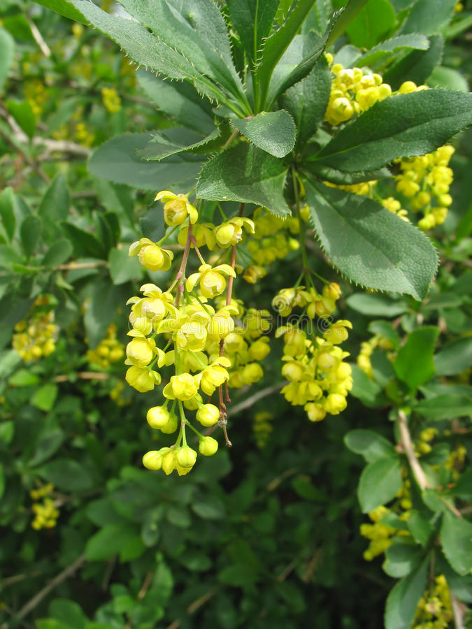 Blossoming flowers of barberry stock photos