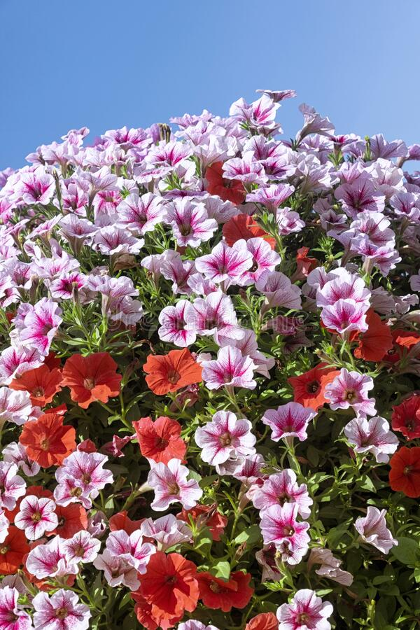 Blossoming flowers on a summer day. Mounds of blossoming flowers on a summer day royalty free stock images