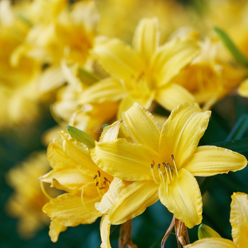 Blossoming flowers of the yellow daylilies close up stock image