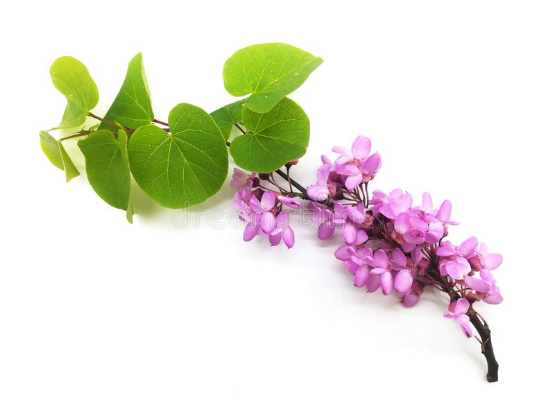 Blossoming fruit branch on white background. Pink elegance flowers. Green leaves stock images