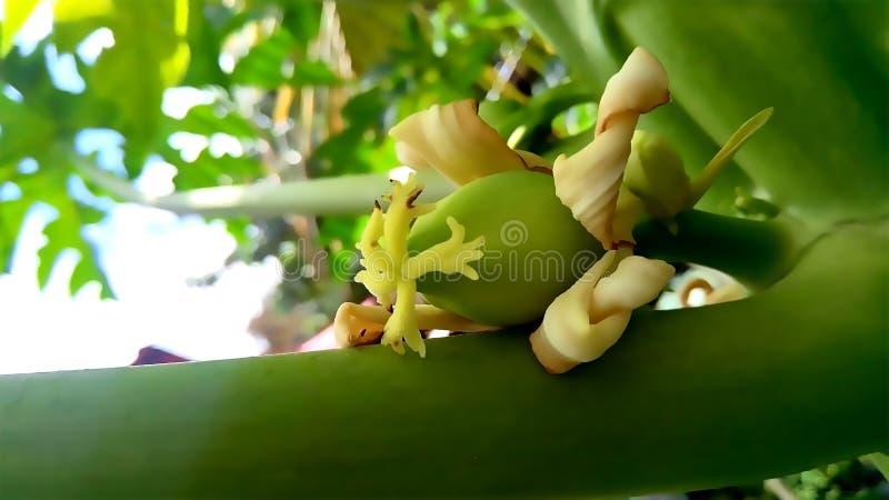 Blossoming fruit of a papaya royalty free stock photography