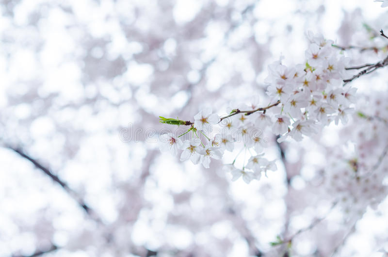 Blossoming fruit tree stock image