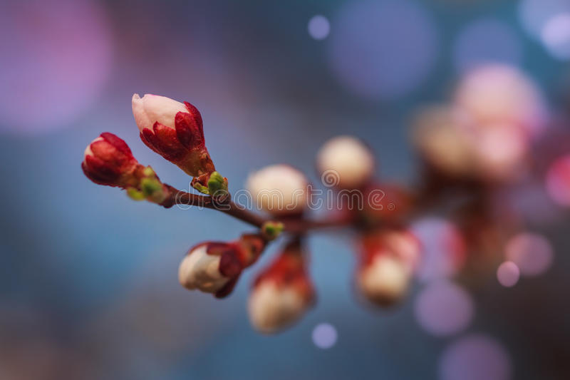 Blossoming of fruit tree during spring. View close-up of branch with white flowers and buds in bright colors. Soft focus and boken background stock images