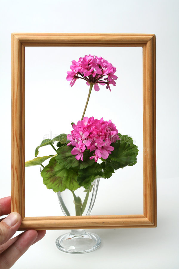 Blossoming geranium royalty free stock photos