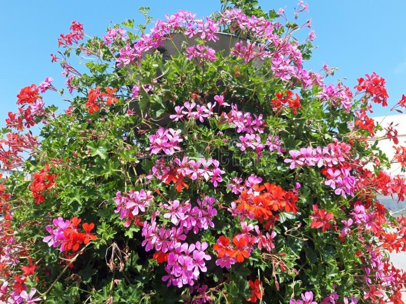 Blossoming Geranium Flower Pot !. Blossoming Geranium Flower Pot on blue sky background stock image