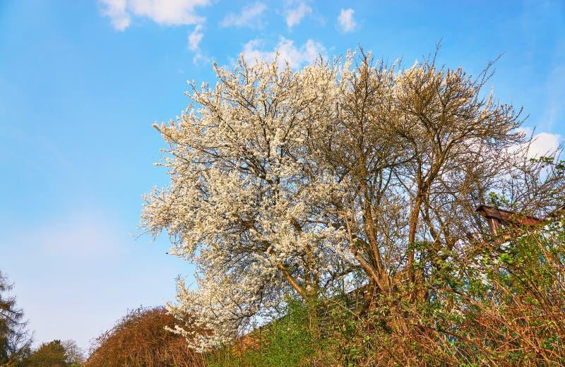 Blossoming kersenboom met blauwe lucht op de achtergrond royalty-vrije stock fotografie