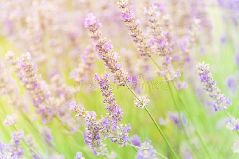 Blossoming lavender on field at Sequim, Washington, USA. Blossom lavender flowers in the field at sunset. Blooming healing lavender plants in summer day ready to royalty free stock photo