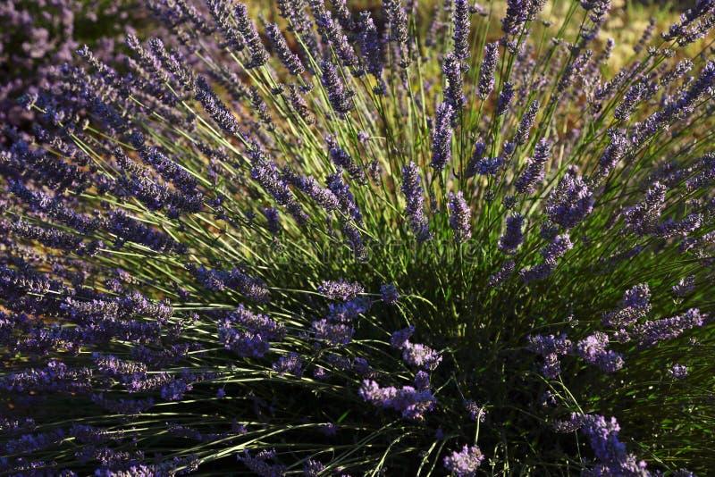 Lavender plant in field stock image