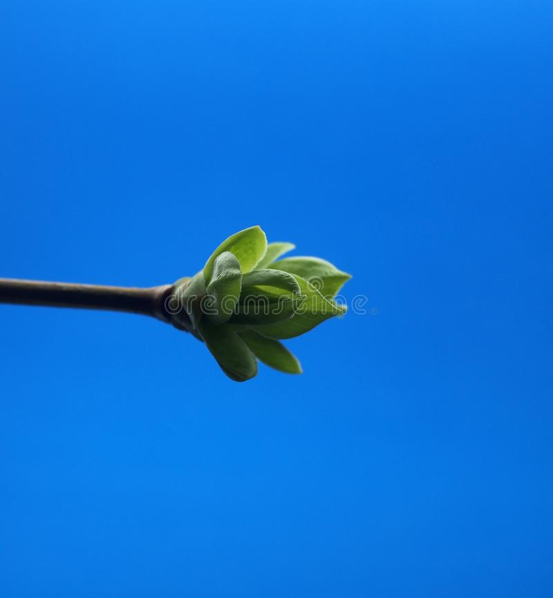 Blossoming leaves on a tree branch. It& x27;s spring royalty free stock images