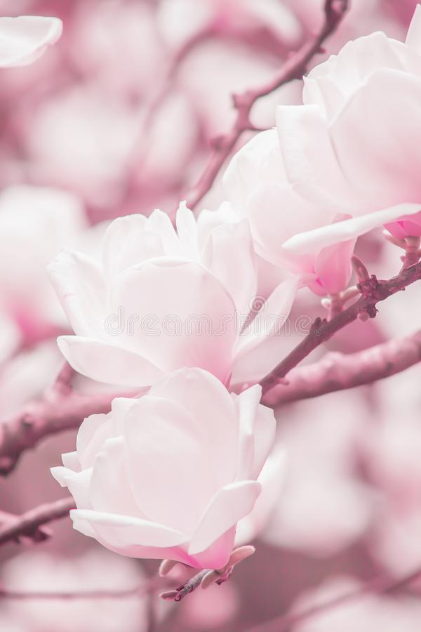 Blossoming light pink magnolia flowers are in the branches of magnolia trees, soft winter sunrise shines on pink flowers stock photo