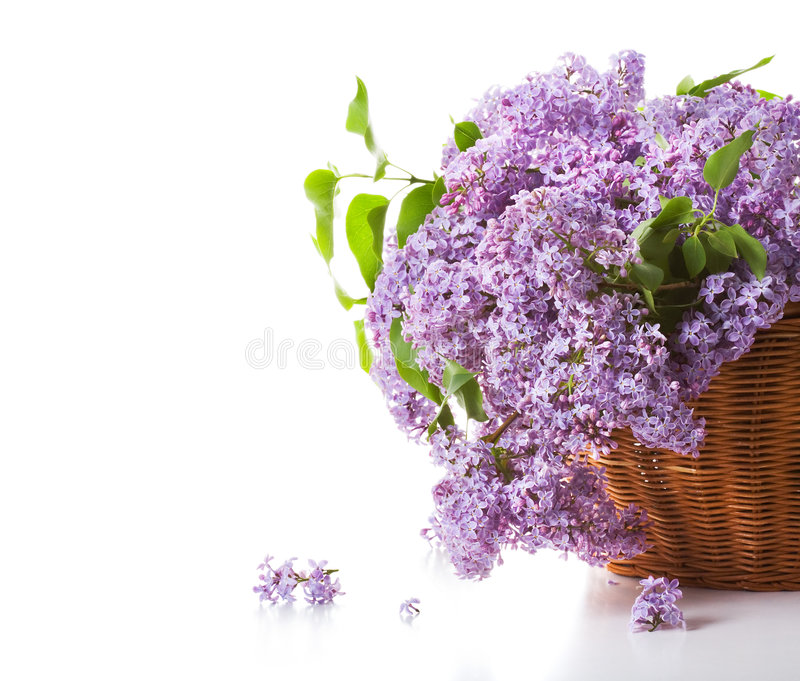 Blossoming lilac royalty free stock photo