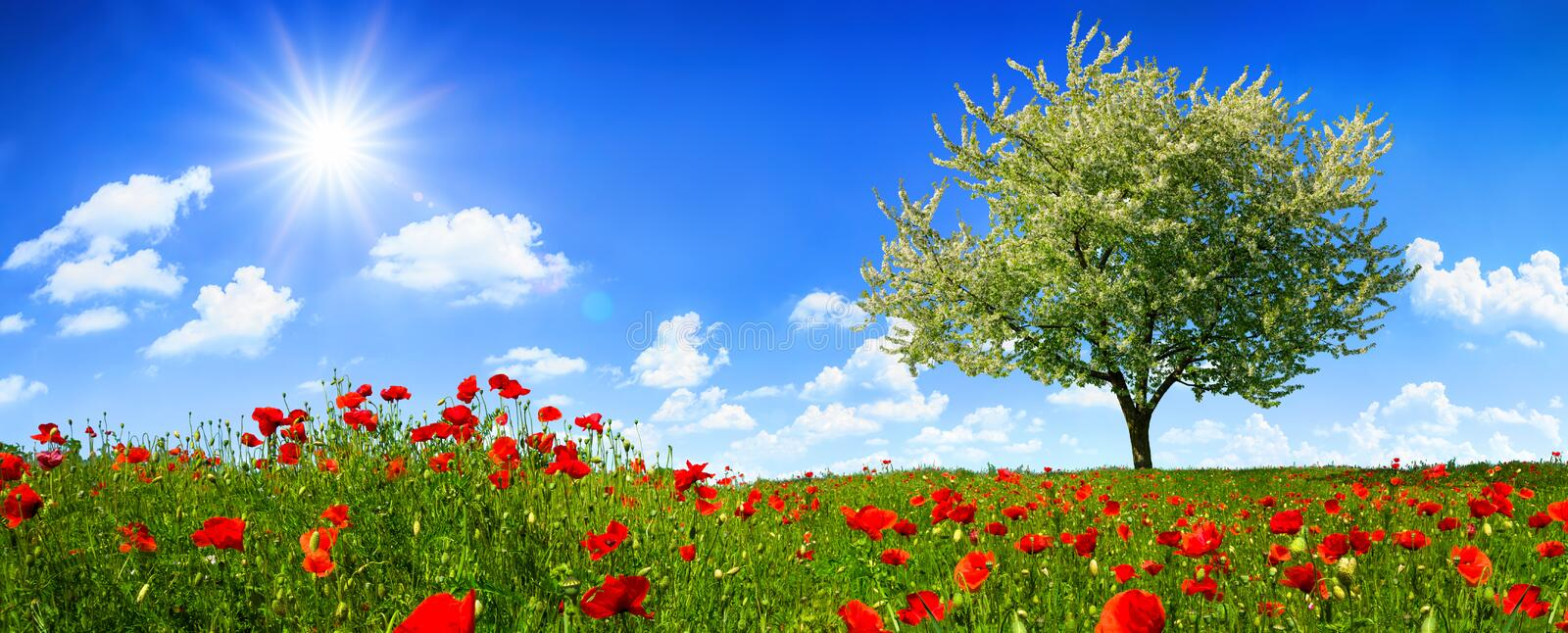 Blossoming lone tree on a colorful meadow with poppy flowers. With the sun shining bright in the deep blue sky stock photos