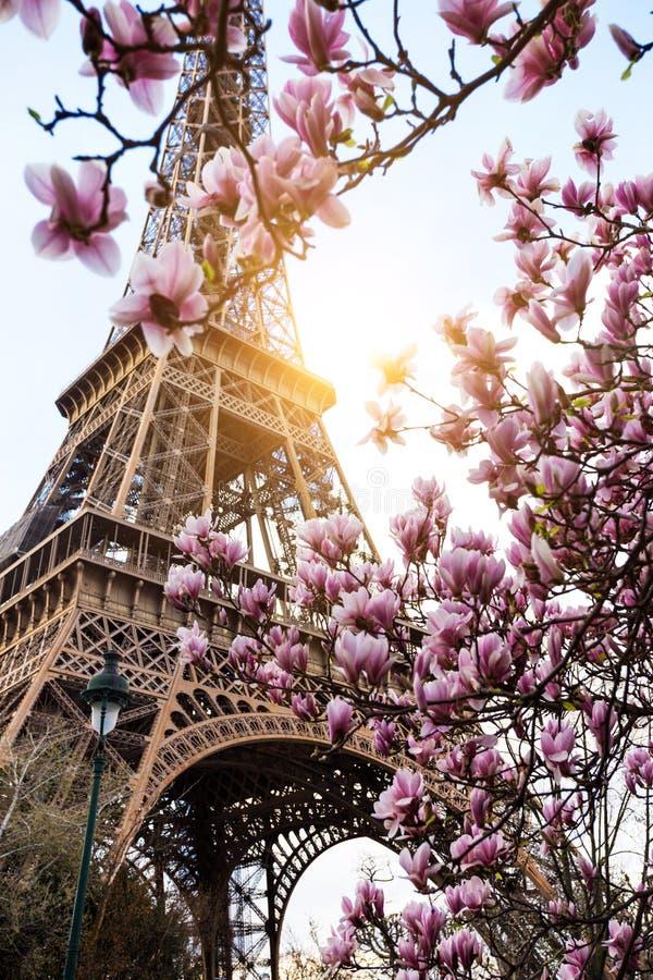 blossoming magnolia стоковое изображение