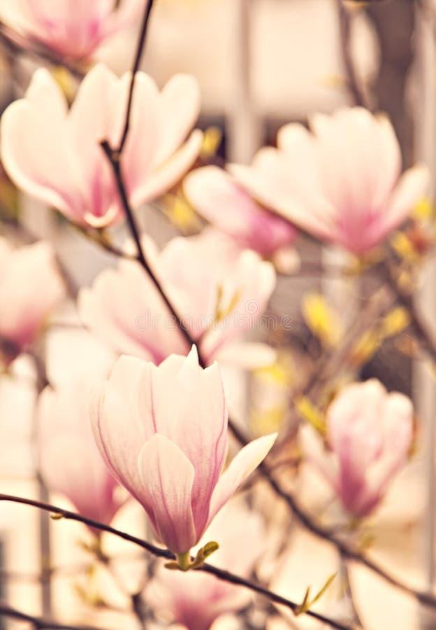 Blossoming magnolia stock image