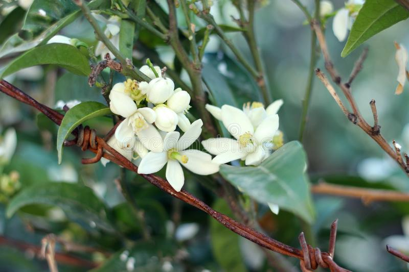 Blossoming mandarin, orange tree. Branch with leaves, flowers closeup photography stock photography