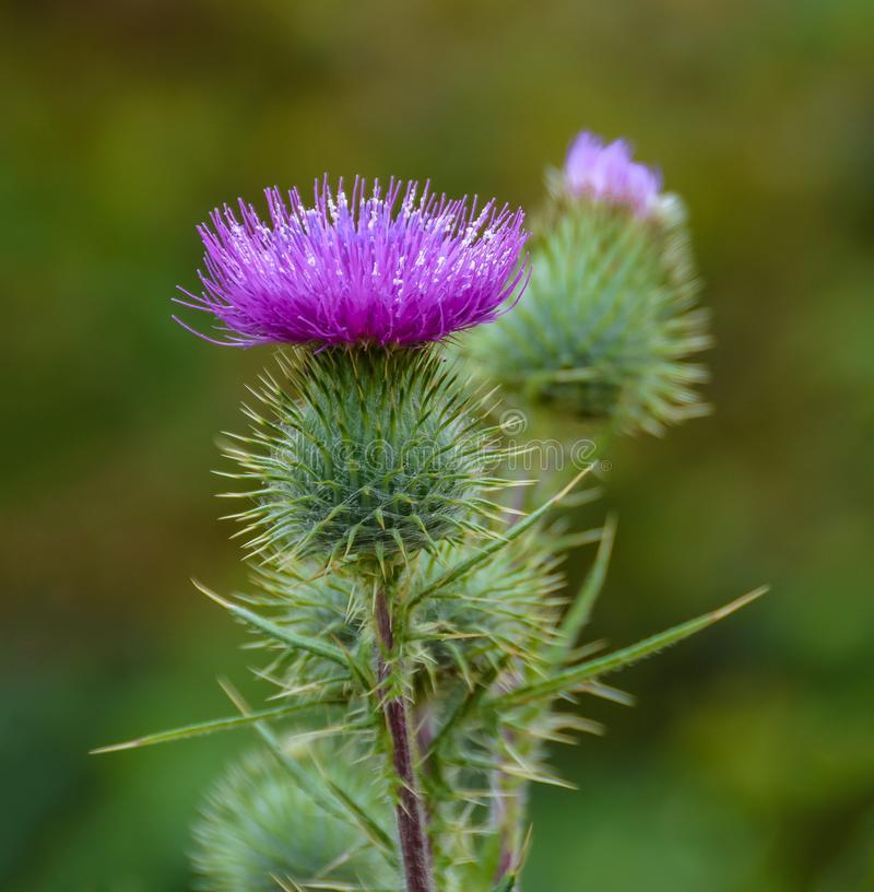 Blossoming Milk Thistle flower. Milk Thistle `Silybum marianum`. Also known as Marian`s Thistle, St. Mary`s Thistle, Holy Thistle royalty free stock image