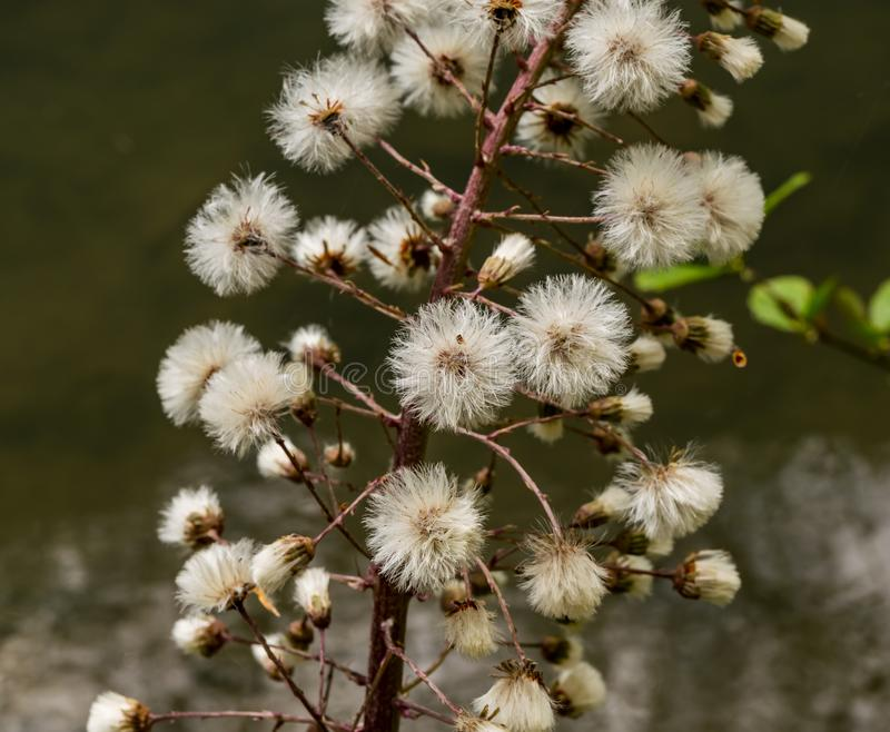 A blossoming mimosa on the bank of a river. Blossoming mimosa on the bank of a river stock image