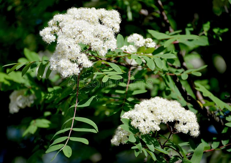 The blossoming mountain ash ordinary Sorbus aucuparia L.  royalty free stock images