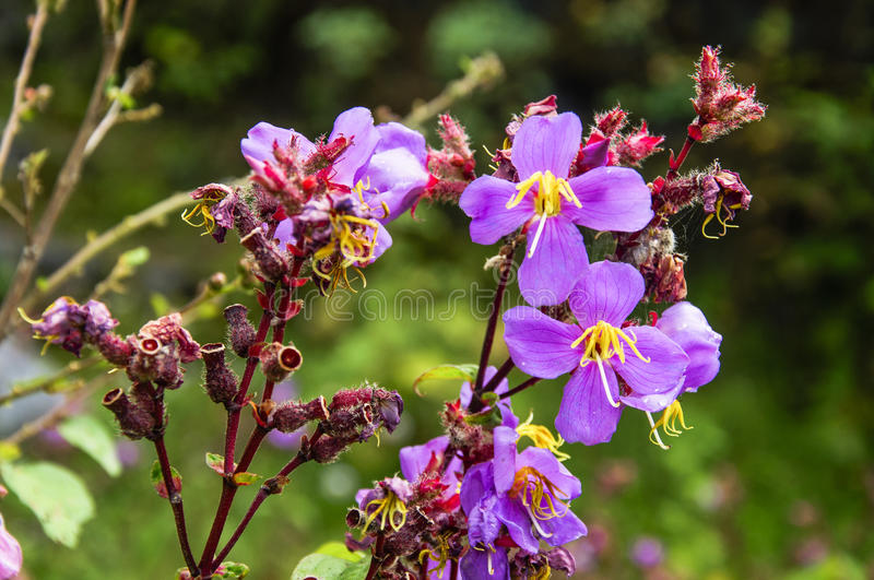 Blossoming myrtle flowers closeup. The blossoming myrtle flowers closeup in garden royalty free stock images