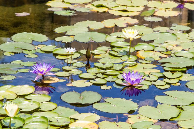 Purple and white water lilies in pond. Blossoming Nymphaea, purple and white water lilies on the water surface surrounded by round leaves in pond royalty free stock photos