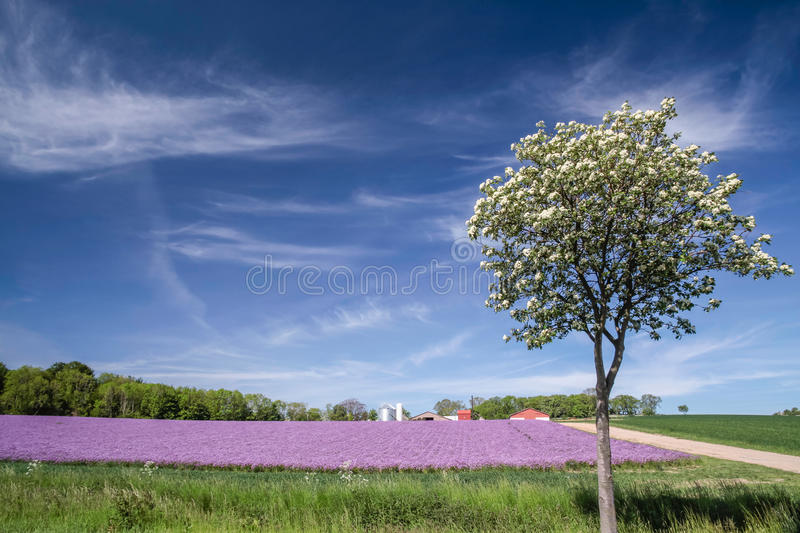 Blossoming onion field with spring tree royalty free stock photos