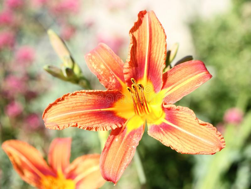 Blossoming orange daylily with background made out of next lilies.  stock photography